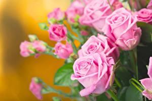 Фото Розы Розовый Цветы