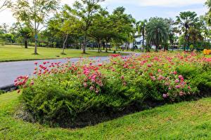 Фотография Таиланд Парки Цинерария Кусты Suan Luang Rama public park Природа