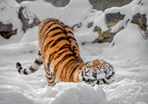 Обои Тигры Снег Миленькие Животные