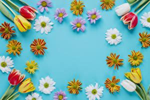 Картинки Тюльпаны Хризантемы Цветной фон Дизайн
