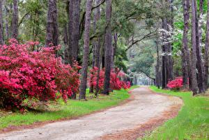 Картинка Штаты Парки Дороги Магнолия Деревья Кусты South Carolina Magnolia park Природа