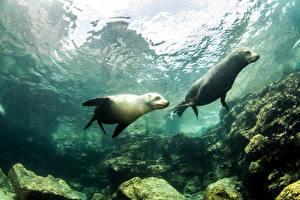 Фото Подводный мир Тюлени Двое животное