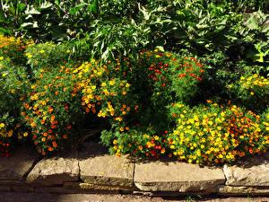 Картинка Великобритания Сады Бархатцы Много Лондон Кусты Kew Gardens Природа