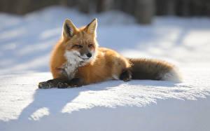 Фотографии Зима Лисица Снег Животные