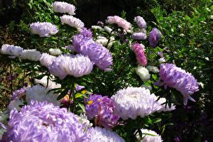 Фотографии Астры Вблизи Цветы