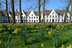 Картинки Бельгия Здания Нарциссы Деревья Brugge Города