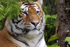 Фотография Большие кошки Тигры Морда Животные