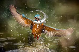 Фото Птицы Обыкновенный зимородок Рыбы Брызги Полет Животные