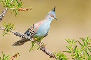 Картинка Птицы Голуби Ветки Crested Pigeon Животные