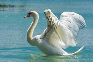 Обои Птица Лебеди Крылья животное