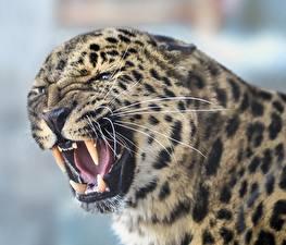 Картинка Клыки Леопарды Злость Усы Вибриссы Морда Животные