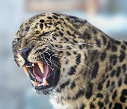 Картинка Клыки Леопарды Злость Усы Вибриссы Морда
