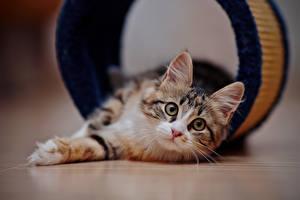 Обои Кошки Котята Смотрит Животные