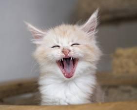 Фотография Кошки Мейн-кун Языком Зевающий Котята животное