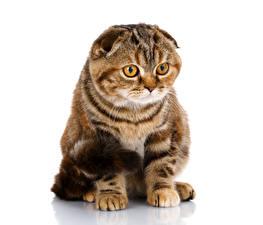 Картинка Кошка Скоттиш-фолд Белом фоне Смотрят