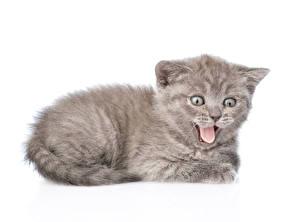 Картинки Коты Белый фон Котята Язык (анатомия) Животные