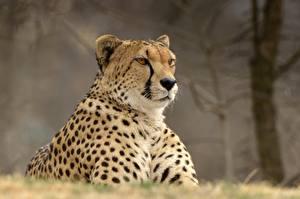 Обои Гепарды Взгляд Животные картинки