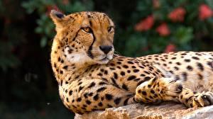 Фотографии Гепарды Смотрит Животные