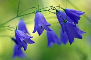 Обои Вблизи Колокольчики Синий Цветы