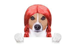 Обои Креатив Собаки Белый фон Джек-рассел-терьер Волосы