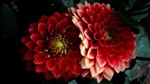 Фотографии Георгины Крупным планом Красные Две Цветы