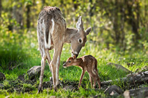 Фотография Олени Детеныши Вдвоем Животные