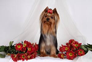 Фотография Собака Хризантемы Йоркширский терьер Бант Животные