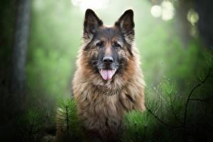 Обои Собаки Немецкая овчарка Язык (анатомия) Животные картинки