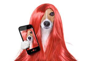 Обои Собаки Белый фон Джек-рассел-терьер Волосы Смартфон