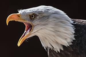 Фото Орлы Птицы Клюв Голова