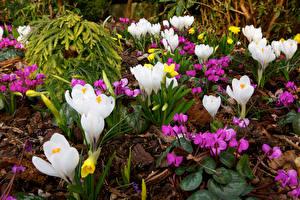 Фото Англия Крокусы Цикламен Walsall Garden цветок