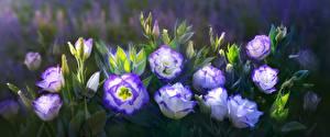 Фотография Лизантус Цветы