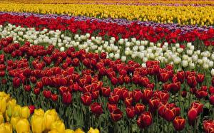 Фотографии Поля Тюльпаны Много Разноцветные Цветы