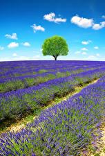 Обои Франция Прованс Поля Лаванда Деревья Природа картинки