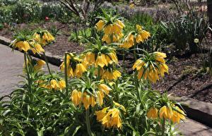 Фотография Рябчик Желтый Цветы