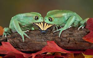 Обои Лягушка Бабочки Двое Животные