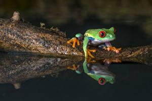 Картинка Лягушки Вода Отражение Животные