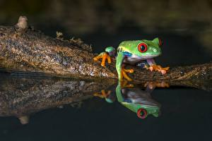Картинка Лягушки Вода Отражение