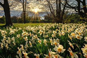 Фотографии Германия Парки Весна Нарциссы Лучи света Kassel Природа