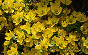 Фото Морозник Вблизи Желтый Цветы