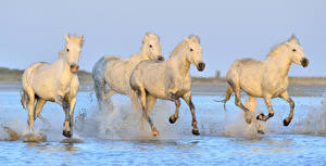 Фотографии Лошади Вода Белый Бег Брызги Животные