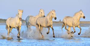 Фотографии Лошади Вода Белый Бег Брызги