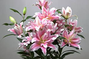 Картинка Лилия Серый фон Розовая Бутон Цветы