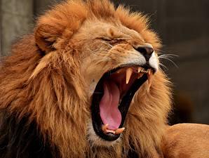 Обои Львы Клыки Оскал Язык (анатомия) Животные картинки