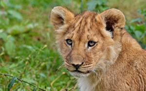 Картинки Львы Детеныши Взгляд Морда Животные