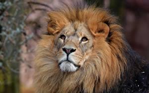 Картинки Львы Смотрит Морда