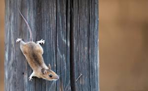 Фото Мыши Крупным планом Животные