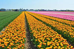 Картинка Нидерланды Поля Тюльпаны Много Keukenhof Цветы