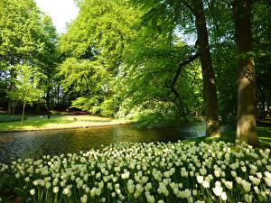 Фотографии Нидерланды Парки Весна Пруд Тюльпаны Деревья Keukenhof Природа