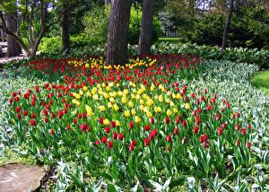 Фотография Нидерланды Парки Весенние Тюльпаны Много Keukenhof Цветы Цветы